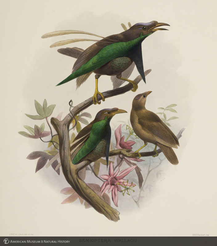 """Semioptera wallacii (Wallace's standardwing) from Daniel Giraud Elliot's """"A Monograph of the Paradiseidae or Birds of Paradise"""""""