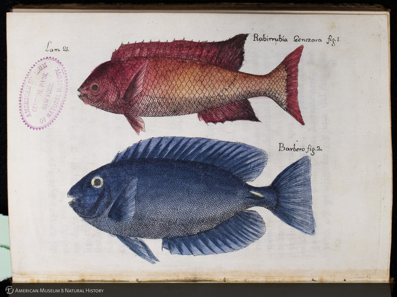 Hand-colored copper plate engraving of Cuban fishes