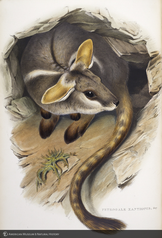 Petrogale xanthopus, yellow-footed rock wallaby, from Gould's The mammals of Australia