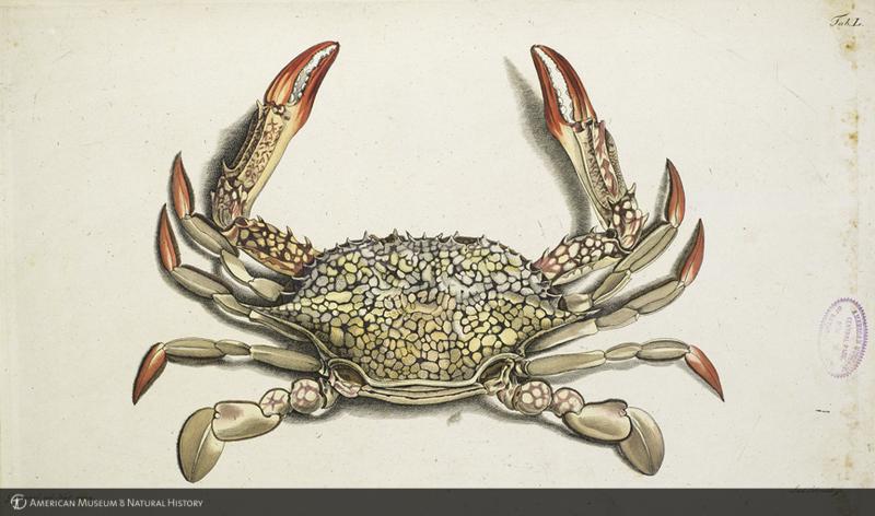 Portunus reticulatus (crab)
