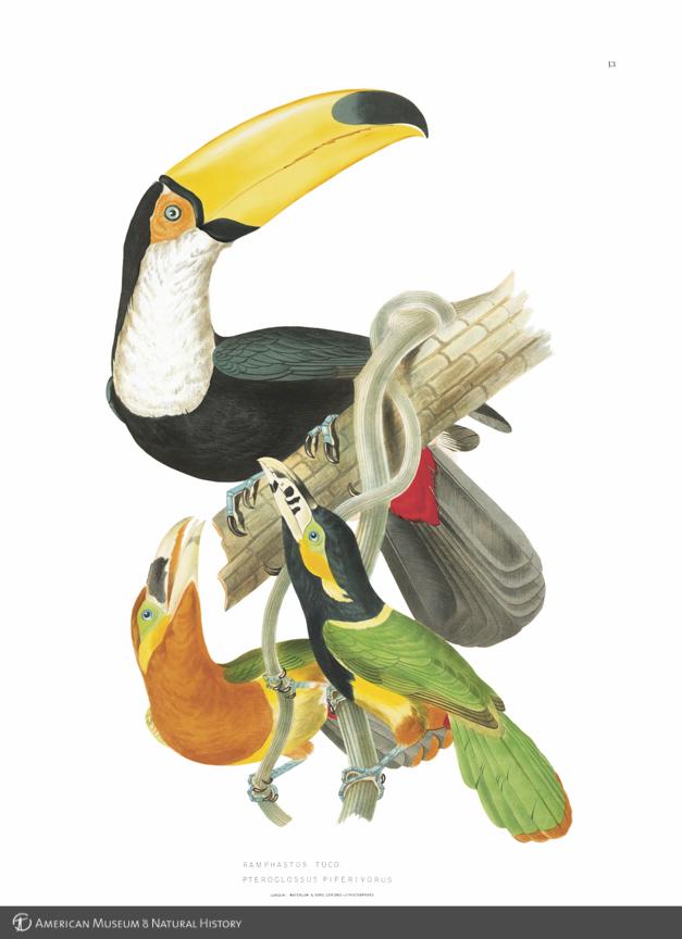 """Tucán común, y tucancito de pico maculado, del libro """"Ornithologie bresilienne"""", de J. T. Descourtilz. Imagen: American Museum of Natural History."""