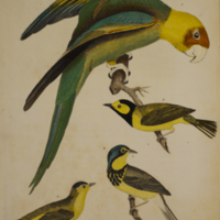 Carolina parrot, Canada flycatcher, hooded flycatcher, and green black capped flycatcher from Wilson's American ornithology