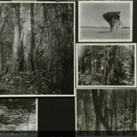 Forest, trees, botanical field photographs mounted to card, for use in Lion Group, Akeley Hall of African Mammals