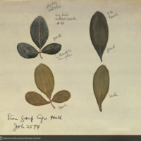 Leaves and leaflets, botanical illustration for use in Lion Group, Akeley Hall of African Mammals