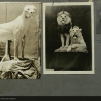 Lions, photographs mounted to card, for use in Lion Group, Akeley Hall of African Mammals