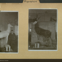 Mounted antelope specimen, J. E. Allinger, Municipal Museum, Germany, preparation folder