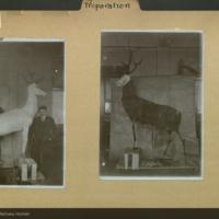 Mounted antelope specimen, J. E. Allinger, Municipal Museum, Germany, preparation folder
