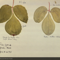 Leaves, botanical illustration for use in Lion Group, Akeley Hall of African Mammals