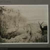 Upper Nile Region Group, Akeley Hall of African Mammals, photograph mounted to card