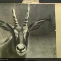 Roan, photograph, Artiodactyla Antelope folder
