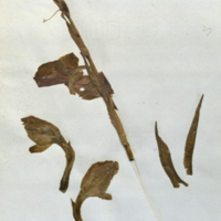 Plant specimen for use in Leopard Group, Akeley Hall of African Mammals