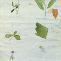 Plants, botanical illustration for use in Black Rhinoceros Group, Akeley Hall of African Mammals