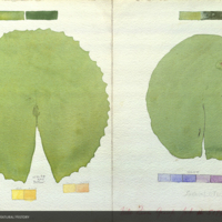 Lotus leaves, botanical illustration with colors noted, for use in Upper Nile Region Group, Akeley Hall of African Mammals
