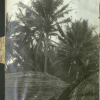 Coconut trees with dwellings at bottom, photograph in Botany of Africa folder