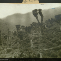 Landscape of senecio and lobelia trees with expedition member, Africa, photograph mounted to botany of Africa folder