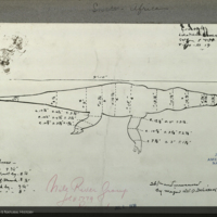 Crocodile, specimen measurement chart for Upper Nile Region Group, Akeley Hall of African Mammals