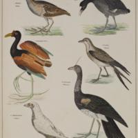 Wasser-hühner (waterfowl) from Oken's Allgemeine Naturgeschichte für alle Stände