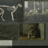 Lions, male, female and skeleton, photographs and clippings for use in Lion Group, Akeley Hall of African Mammals