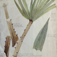 Palm leaf and stem in sections, botanical illustration, for use in Water Hole Group, Akeley Hall of African Mammals