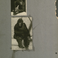 Gorillas sitting, photographs mounted to card, for use in Gorilla Group, Akeley Hall of African Mammals