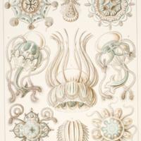 Nacromedusae from Haeckel's Kunstformen der Natur