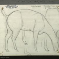Asian sambar deer sketched at Bronx Zoo, for use in Sambar Deer Group, Hall of Asian Mammals