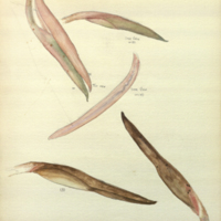 Philodendron (Squamiferum), botanical illustration, for use in Alaska Brown Bear Group, Hall of North American Mammals