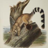 Ring-tailed Bassaris from Audubon's The viviparous quadrupeds of North America