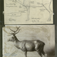 Sketch mounted above photograph of clay sculpture, studies for use in Hall of North American Mammals