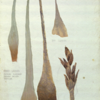 Tillandsia fasciculata, botanical illustration for use in Florida Black Bear Group, Hall of North American Mammals