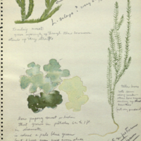 Moss, botanical illustration for use in Alaska Brown Bear Group, Hall of North American Mammals