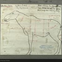 Moose, specimen measurement chart for Alaska Moose Group, Hall of North American Mammals