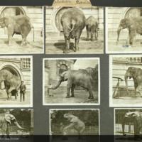 Indian elephant, photographs mounted to card, Proboscidae folder