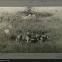 Lions with zebra, field photograph mounted to card, for use in Lion Group, Akeley Hall of African Mammals