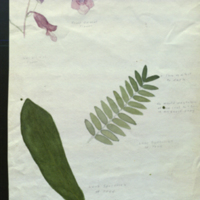 Leaves and flowers, botanical illustration for use in White Rhinoceros Group, Akeley Hall of African Mammals