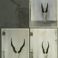 Eland skull with horns, photographs mounted to card, for use in Giant Eland Group, Akeley Hall of African Mammals