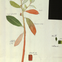 Stalk with leaves and buds, botanical illustration with colors noted, for use in Leopard Group, Akeley Hall of African Mammals