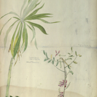 Two plants, botanical illustration for use in Sambar Deer Group, Hall of Asian Mammals