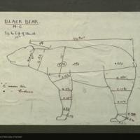 Black bear, specimen measurement chart for Florida Black Bear Group, Hall of North American Mammals
