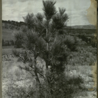 Pine tree, photograph for use in Mule Deer Group, Hall of North American Mammals