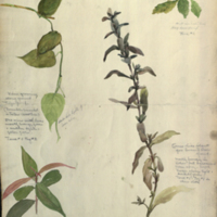 Plants, botanical illustration for use in dioramas, Hall of Asian Mammals