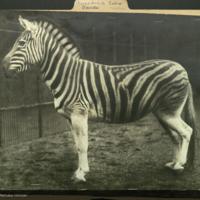 Zebra, Perissodactyla Equidae folder