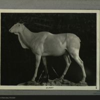 Eland model, photograph mounted to card, for use in Giant Eland Group, Akeley Hall of African Mammals
