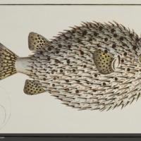 Diddon hystrix from Bloch's Allgemeine Naturgeschichte der Fische