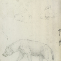 Hyena, pencil drawing for Spotted Hyena Group, Akeley Hall of African Mammals