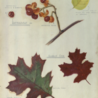Scarlet oak and bittersweet, botanical illustration for use in Oak Hickory Group, Forestry Hall