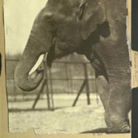 Elephant, photograph mounted to Proboscidae folder