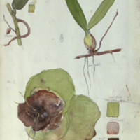 Three plants, botanical illustration with colors noted, for use in Chimpanzee Group, Akeley Hall of African Mammals