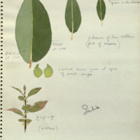 Leaves, botanical illustration for Alaska Moose Group, Hall of North American Mammals