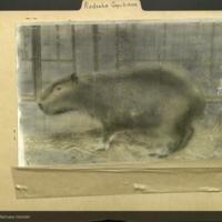 Capybara, Rodentsia folder